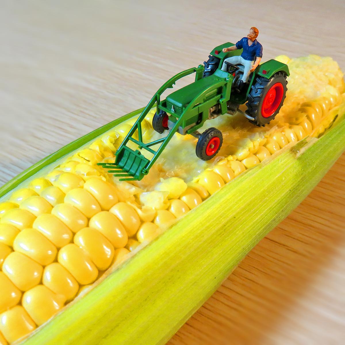 トウモロコシをトラクターで収穫する農作業員